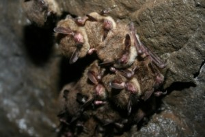 hibernating northern long ear bats