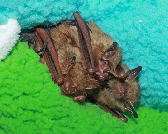 Three tricolored bats snuggle together
