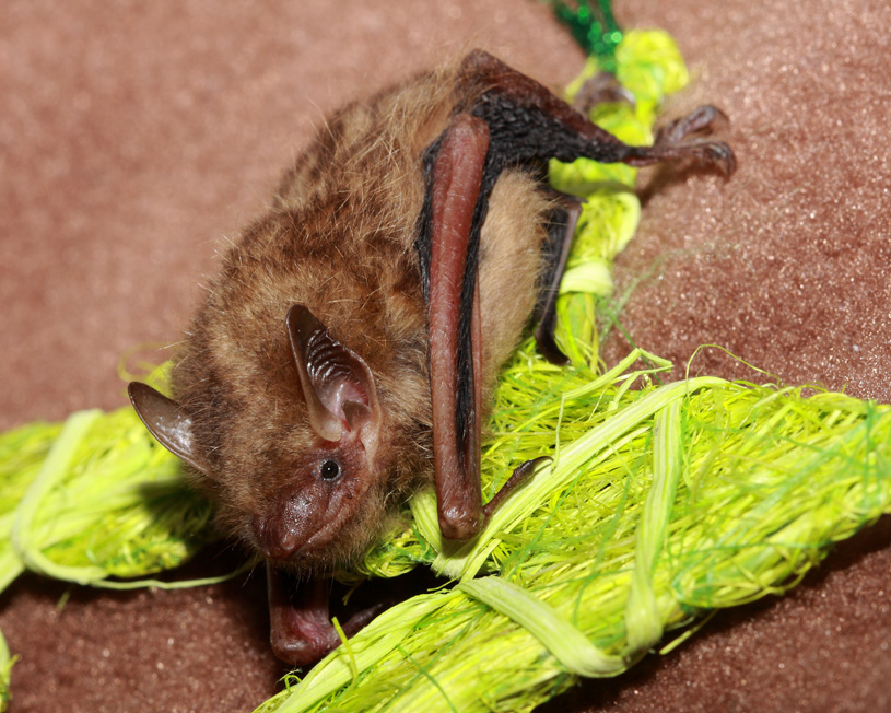 A picture of Tinybat, a tricolored bat