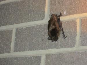 An urban big brown bat