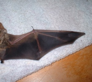 An example of a bat wing