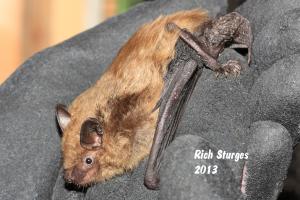 a big brown bat