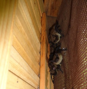 A small colony of big brown bats