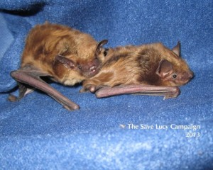 Two big brown bats snuggling