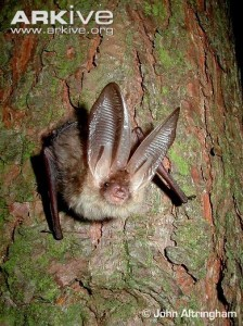 A photo of a brown long eared bat