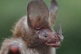 A photo of a spear nosed bat from St. Vincent