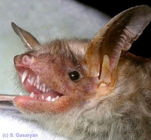A lesser mouse eared bat from Russia
