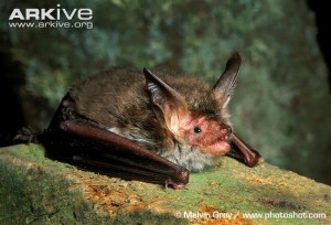A picture of a Bechstein bat from Russia