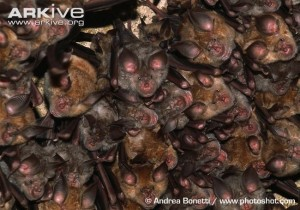 A picture if Mediterranean Hoeseshoe bats from Russia