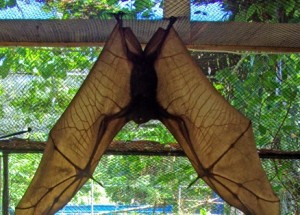 a photo of a giant golden crowned fruit bat