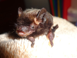 A photograph of udy the silver haired bat