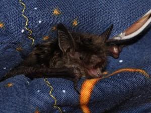 A photo of a little brown bat