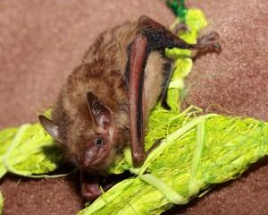 A picture of Tinybat, a tricolored bat