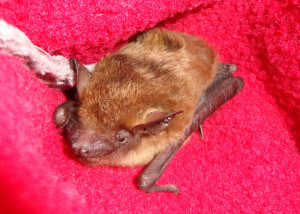 A photograph of the same bat taken the next day; looking better