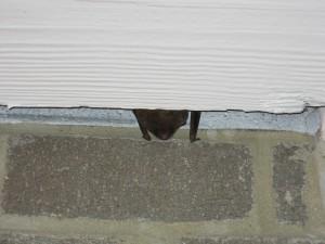 A big brown bat hiding under trim