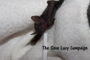 A caring person rescued this tiny tricolored pup. That he existed at all is proof that some of our tricolored bats are still reproducing, even though they are rapidly disappearing because of WNS.