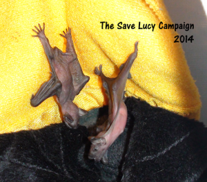 A photograph of two very young big brown bat pups.