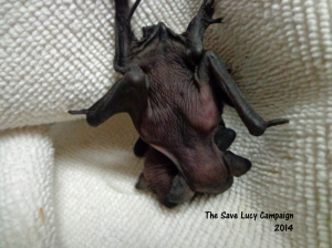 A photo of two big brown bat pups