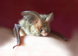 A photo of a baby bat with very large ears