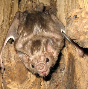 A photograph of a white-winged vampire bat.