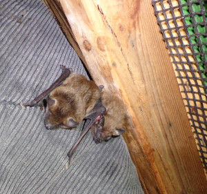 a photo of two juvenile big brown bats in the Save Lucy flight cage.