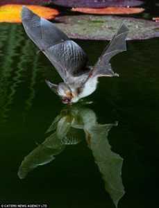 A photograph of a bat drinking water from a pond