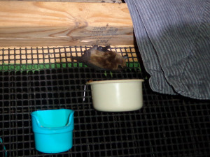 A photo of a juvenile big brown bat at a feeding station in the flight cage.