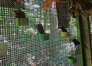 A photograph of juvenile red bats eating from cage cups