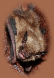 A photograph of a bat that will be at Bat Fest Annandale