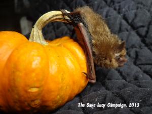 a tricolored bat on a mini pumpkin
