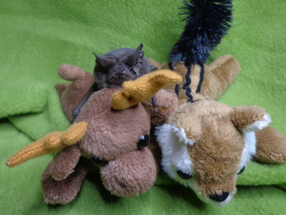 A photograph of Freda the bat with some stuffed animals