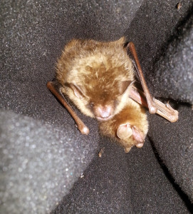 A photo of two eastern tricolored bats, Fierce and Gladys