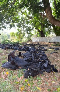 A photo of flying foxes that gied during a heat wave in Australia