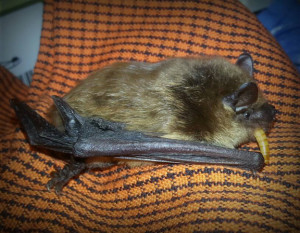 a photograph of a big brown bat eating a mealworm