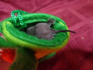 A photograph of a freetail bat in a miniature stocking with her tail sticking out.