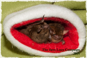A photograph of two tricolored bats roosting an a small santa hat.