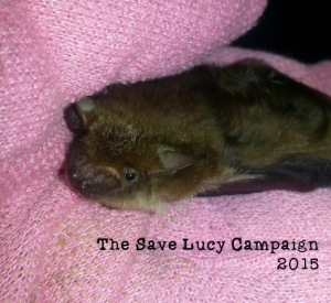 A photograph of a young big brown bat