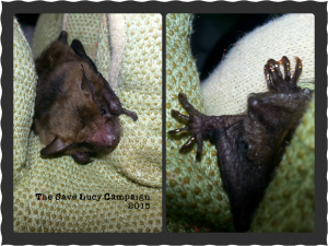 A photograph of a young big brown bat whose toes have been painted with gold nail polish to differentiate him from his cagemate