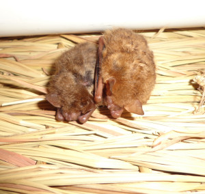 A photograph of two tri-colored bats, Fierce and Gladys, roosting together.