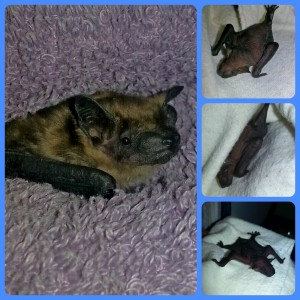 A collage of baby bats currently residing at Save Lucy headquarters.