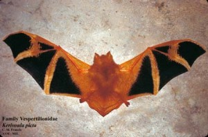 Painted bats are a species native to Nepal and Southeast Asia.