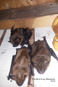 A photograph od juvenile and adult big brown bats in Save Lucy