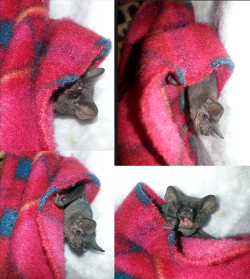 A photo collage of Freda the freetail, one of Save Lucy's education bats