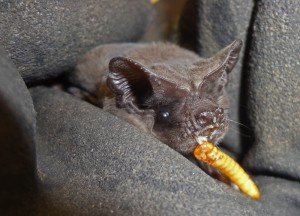 A photograph of Freda the freetail bat eating a mealworm