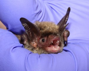 A photograph of a northern long eared bat