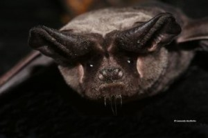 A lovely photo of a European free-tailed bat by Leonardo Ancillotto. You can see the original and learn more at eurobats.org.