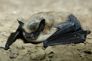 A lovely photo of a small-footed bat. We thank the Arizona Herp Society for the photo. Check out their flikr stream here