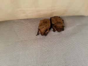 Two big brown bats that are using Save Lucy's release shed as a day roost.