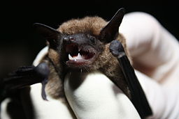 A photograph of an eastern small footed bat's face.