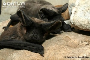 The beautiful faces of the European free tailed bat. Photo courtesy Arkive.org